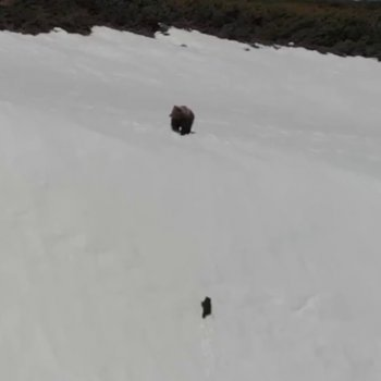 This Fallen Baby Bear Shows Perseverance As He Climbs This Snowy Mountain